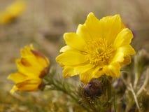Spring yellow flower. Beautiful spring yellow flower in Czech krast Stock Photo