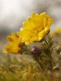 Spring yellow flower. Beautiful spring yellow flower in Czech krast Stock Image