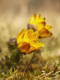 Spring yellow flower. Beautiful spring yellow flower in Czech krast Stock Images