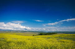 Spring yellow flower meadow with blue sky Stock Photos