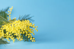 Spring yellow flower mimosa on blue plain background Royalty Free Stock Photos