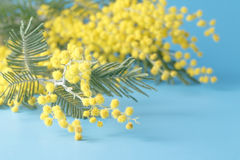 Spring yellow flower mimosa on blue plain background Stock Images