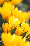 Spring yellow flowers Royalty Free Stock Images