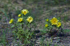 Spring yellow flowers  (Adonis vernalis). Stock Photography