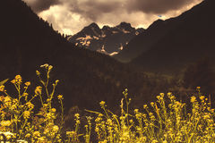 Spring yellow flowers against the background of high Caucasian m Royalty Free Stock Photography