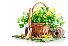 Spring yellow flowers in basket with garden tools Royalty Free Stock Images