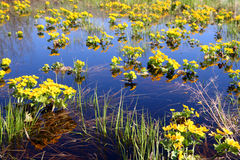 Spring yellow flowers on bog Stock Photo