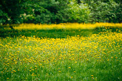 Spring yellow flowers dandelions meadow Royalty Free Stock Images