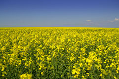 Spring yellow fields against blue sky Stock Image
