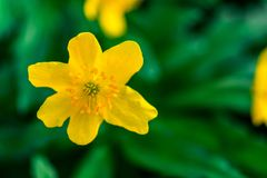 Spring yellow flowers on green background. textures.  Stock Image