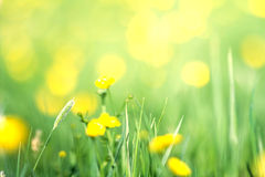 Spring yellow flowers in a green grass background. Flowers at sunrise stock photo