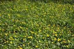 Spring yellow flowers,Yellow flowers in the park Ficaria verna royalty free stock image