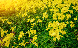 Spring yellow flowers. Sunset over sea. Instagram tonic effect. Stock Photos