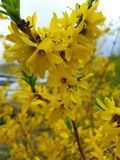 Spring yellow flowers tree bloom nature and garden season. Spring yellow flowers tree bloom nature gar gard garde garden    n season stock photography