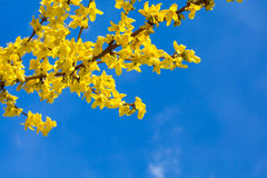 Spring yellow Forsythia europaea blossom in  sun Royalty Free Stock Images