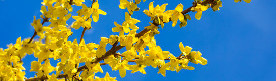 Spring yellow Forsythia europaea blossom in  sun rays Stock Photography