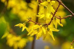 Spring yellow Forsythia europaea blossom in a sun Royalty Free Stock Photography
