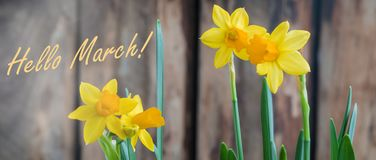 Spring yellow narcissus od daffodil over the wooden background, hello March banner. Spring yellow narcissus over the wooden background with a copy space