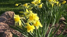 Spring yellow narcissus in wind stock footage