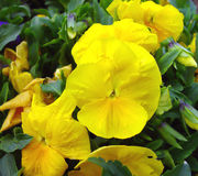 Spring yellow pansy Stock Photos