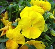 Spring yellow pansy Stock Photos