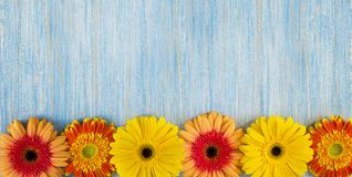 Spring yellow, pink and red gerbera flowers on blue wooden table background. Copy space and wide frame. Spring yellow, pink and red gerbera flowers on blue royalty free stock images