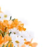 Spring yellow primrose Royalty Free Stock Photos