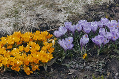 Spring yellow and purple crocuses Royalty Free Stock Photos