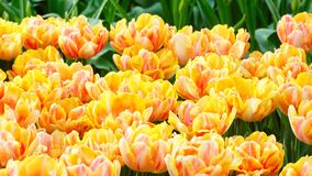 Spring yellow-red tulips close-up. Stock Images
