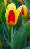 Spring yellow-red tulips close-up. Royalty Free Stock Photos
