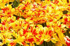 Spring yellow-red tulips close-up. Stock Photos