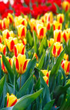 Spring yellow-red tulips close-up. Stock Photography