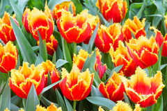 Spring yellow-red tulips close-up. Royalty Free Stock Photo
