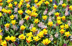 Spring yellow-red tulips and pink hyacinths (background). Royalty Free Stock Images