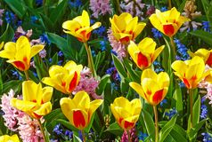 Spring yellow-red tulips and pink hyacinths close-up. Stock Image