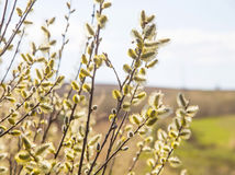 Spring yellow tree buds branches Royalty Free Stock Images