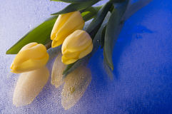 Spring  yellow tulip  blossom on blue background Royalty Free Stock Photos