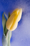 Spring  yellow tulip  blossom on blue background. Beautiful  yellow spring cheerful tulip blossom  over wet  blue background Royalty Free Stock Images