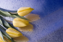 Spring  yellow tulip  blossom on blue background Stock Image