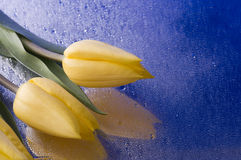 Spring  yellow tulip  blossom on blue background Royalty Free Stock Photography