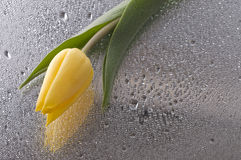Spring  yellow tulip  blossom on wet   background Stock Photos