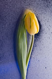 Spring  yellow tulip  blossom on wet blue background. Beautiful  yellow spring cheerful tulip blossom  over wet  blue background Stock Photos
