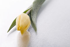 Spring  yellow tulip  blossom on wet grey  background Stock Photo