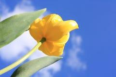 Spring yellow Tulip Royalty Free Stock Image