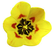 Spring yellow tulip flower. garden flower  white  isolated background with clipping path.  Closeup. no shadows. Royalty Free Stock Image