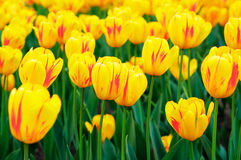 Spring yellow tulips Royalty Free Stock Photos
