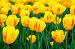 Spring yellow tulips Royalty Free Stock Photos