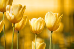 Spring yellow tulips stock photo