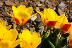 Spring yellow tulips Stock Photos