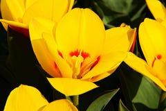 Spring yellow tulips Royalty Free Stock Photo